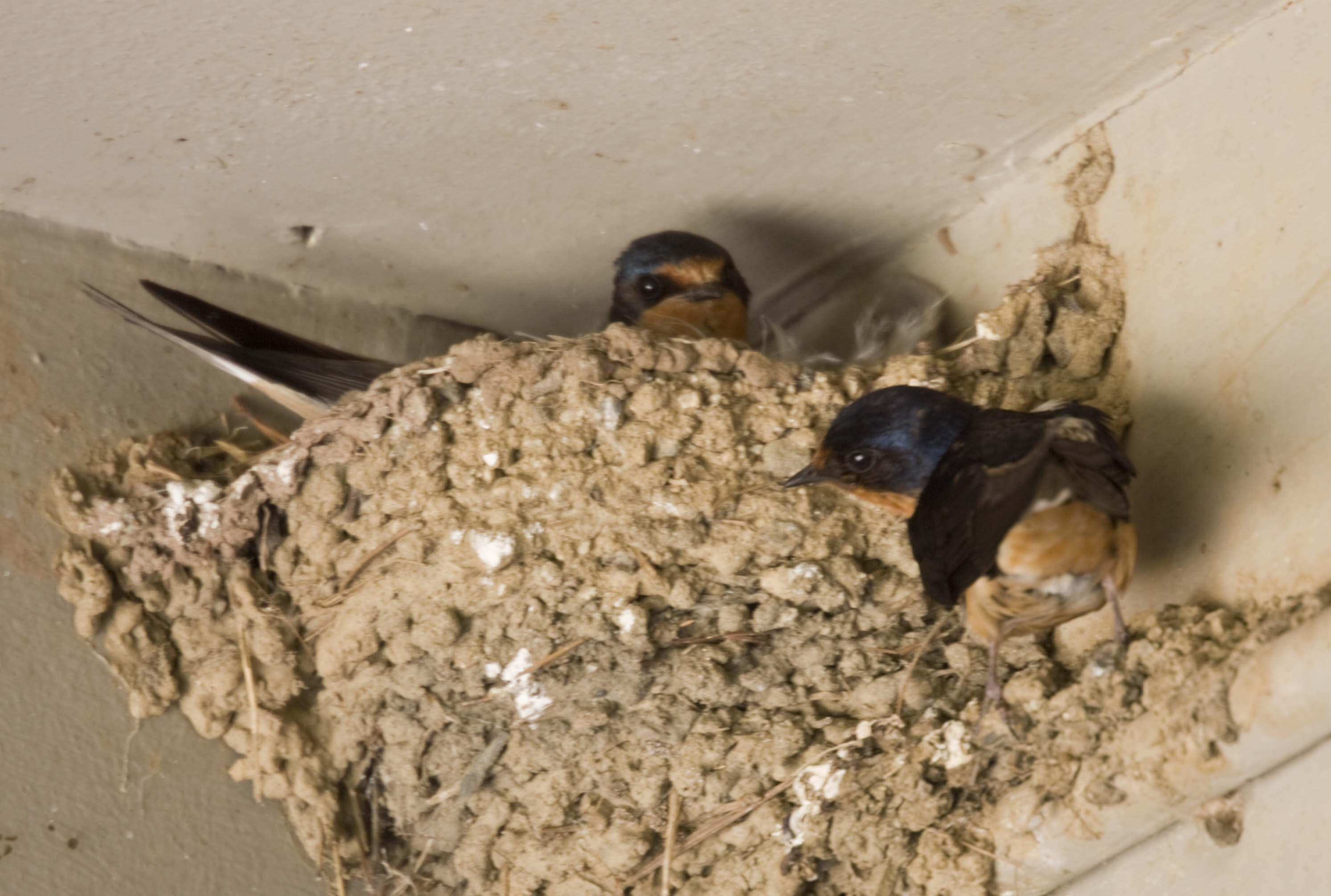 Pictures and information on Barn Swallow