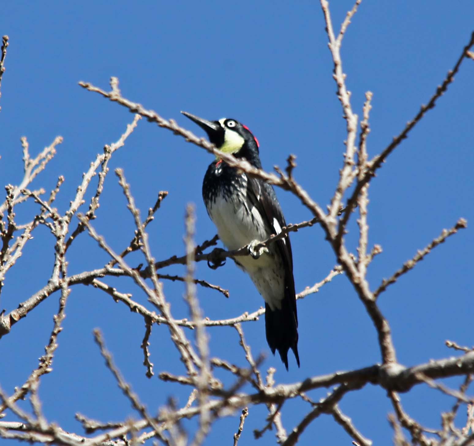 Birds with Dagger Bills  WhatBird  identify birds  bird