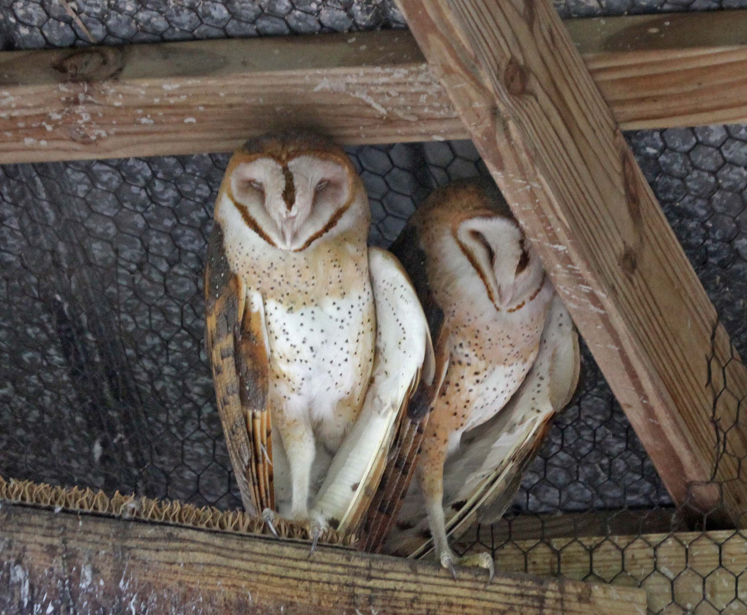 Pictures and information on Barn Owl