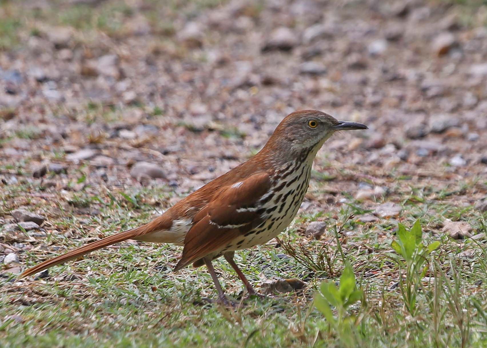 Pictures and information on Brown Thrasher
