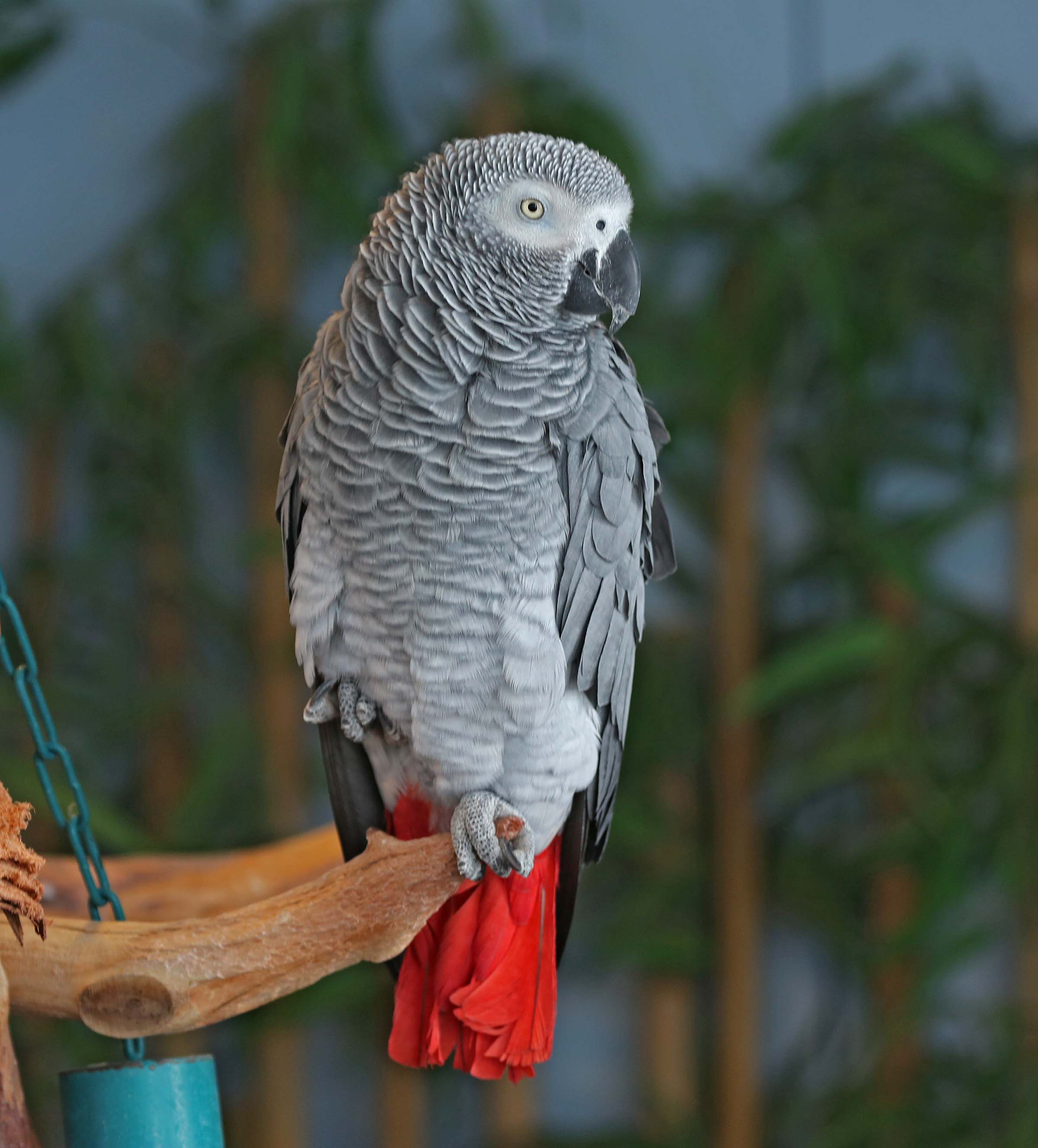 Pictures And Information On Grey Parrot