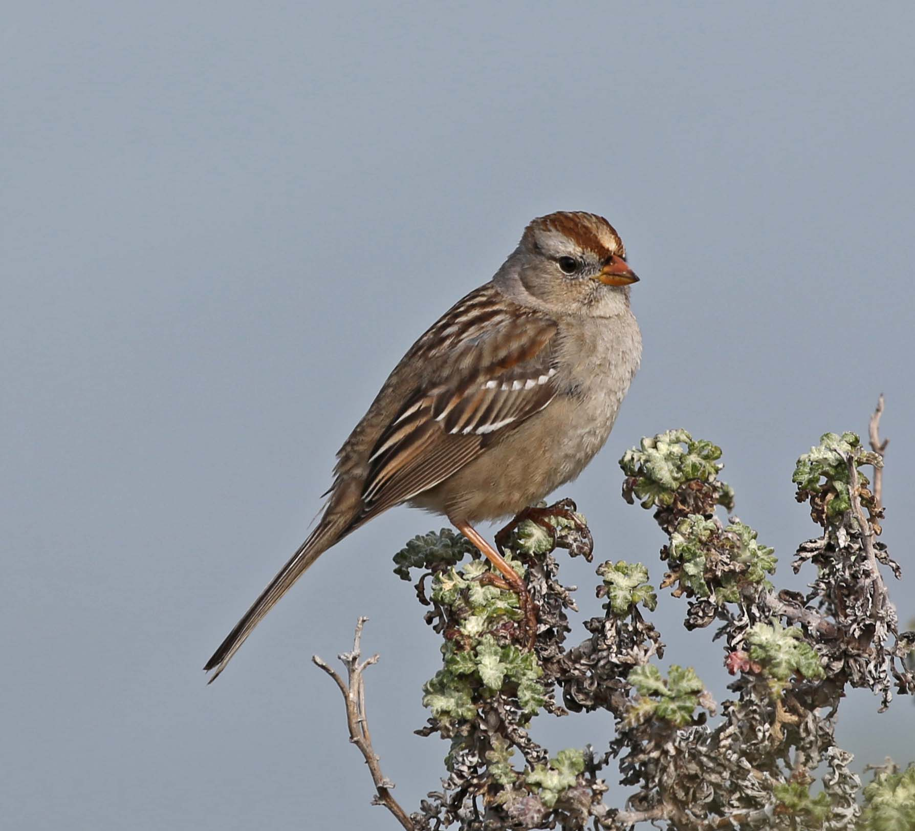Pictures and information on White-crowned Sparrow