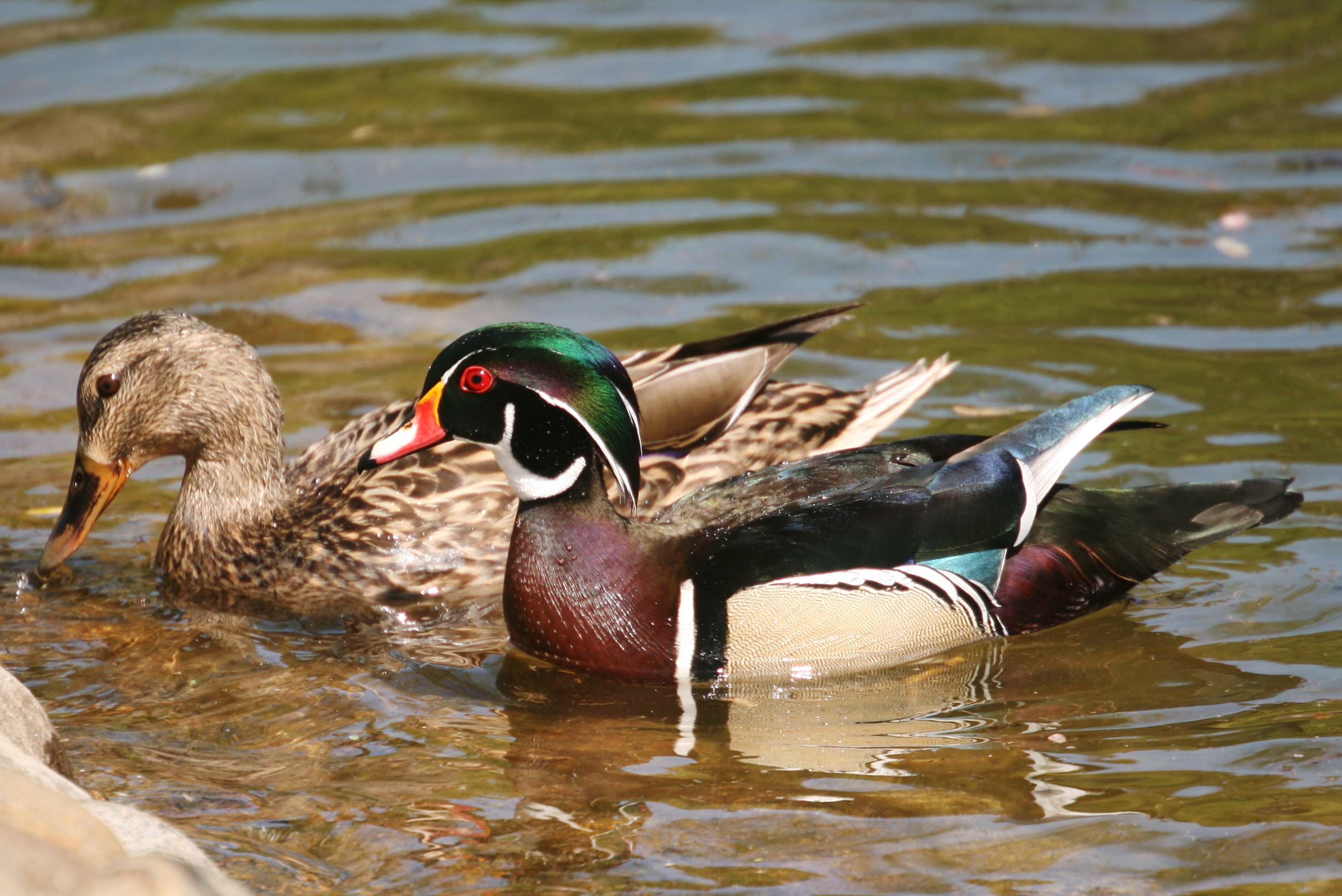 Pictures And Information On Wood Duck