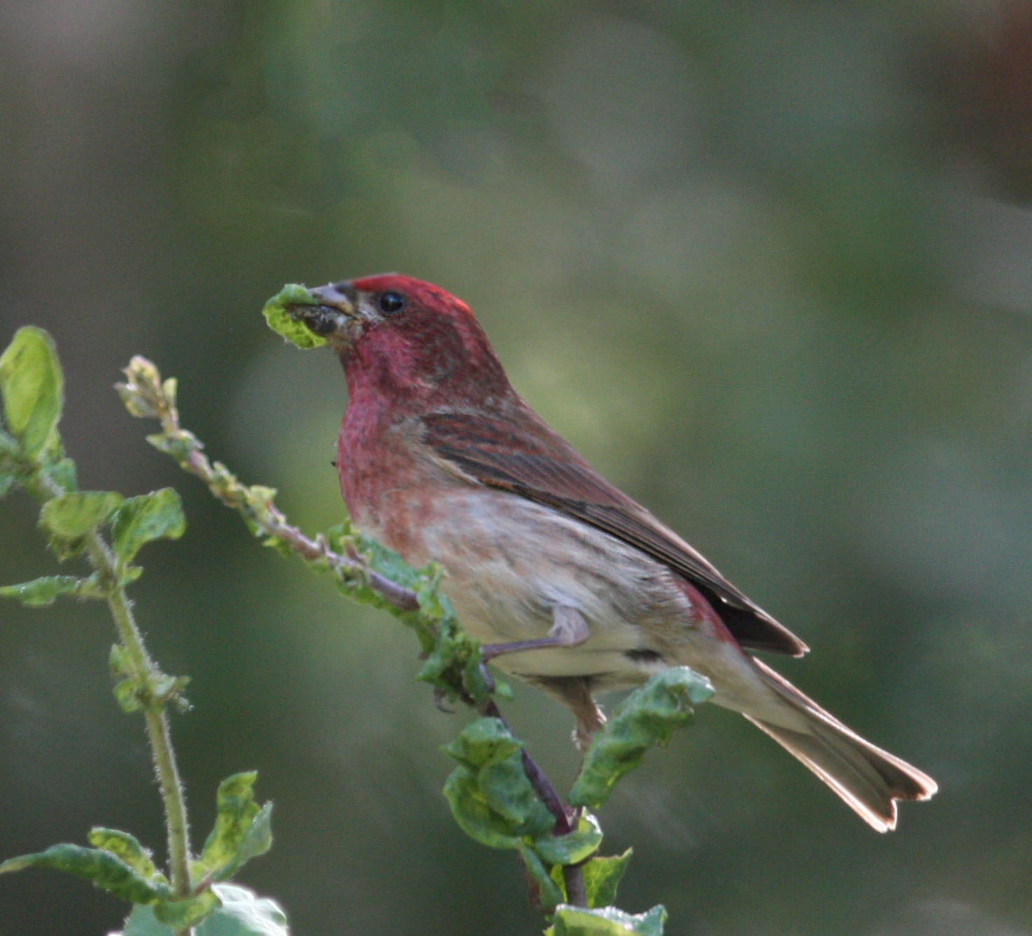 pictures and information on purple finch