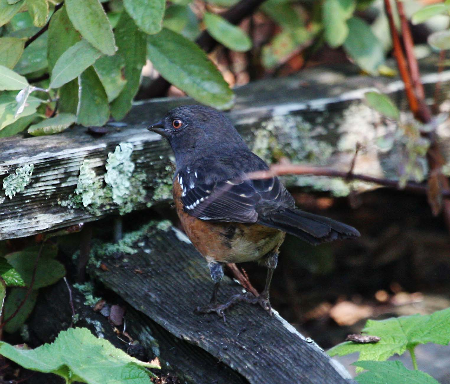pictures and information on spotted towhee