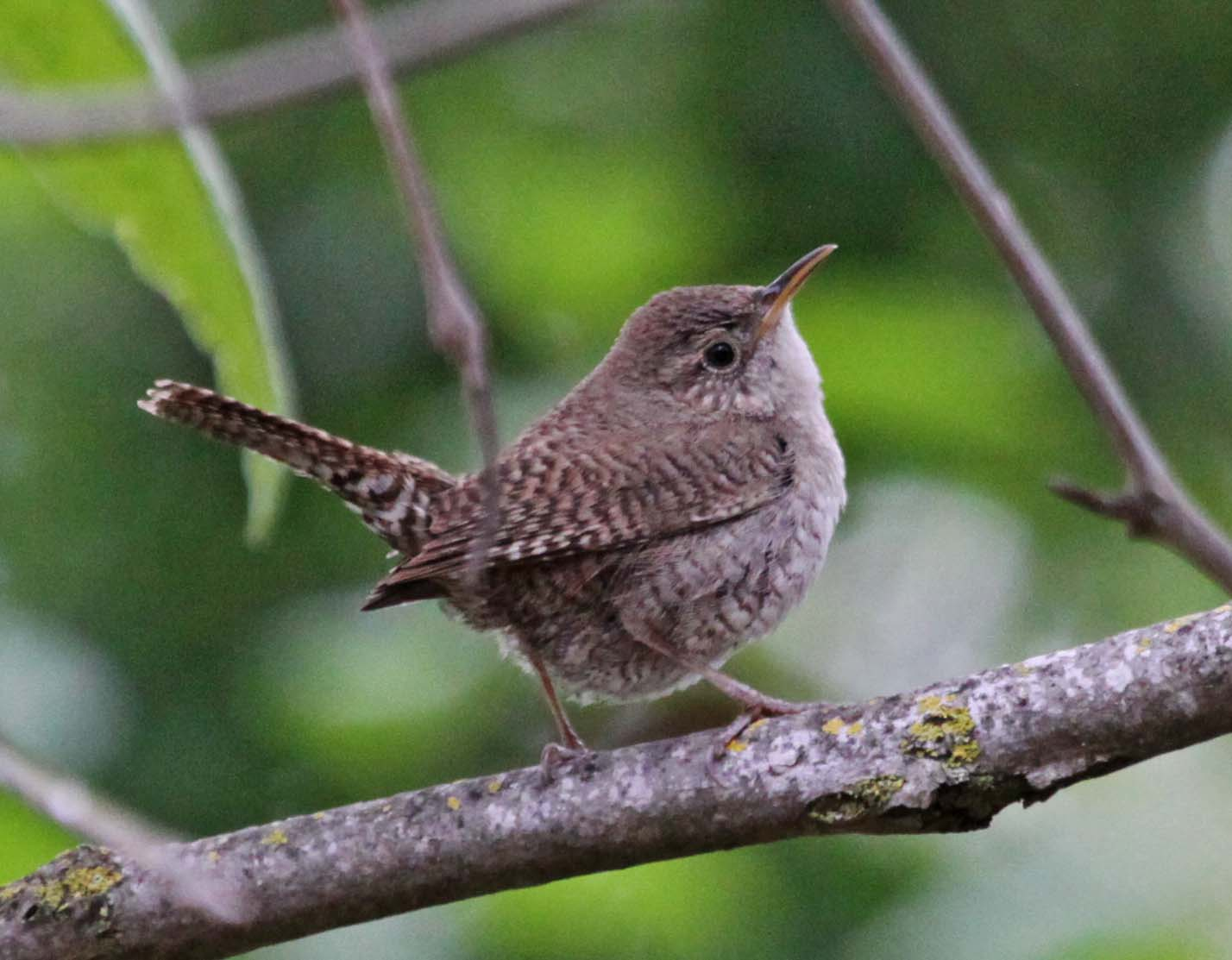 Picture/image Of House Wren