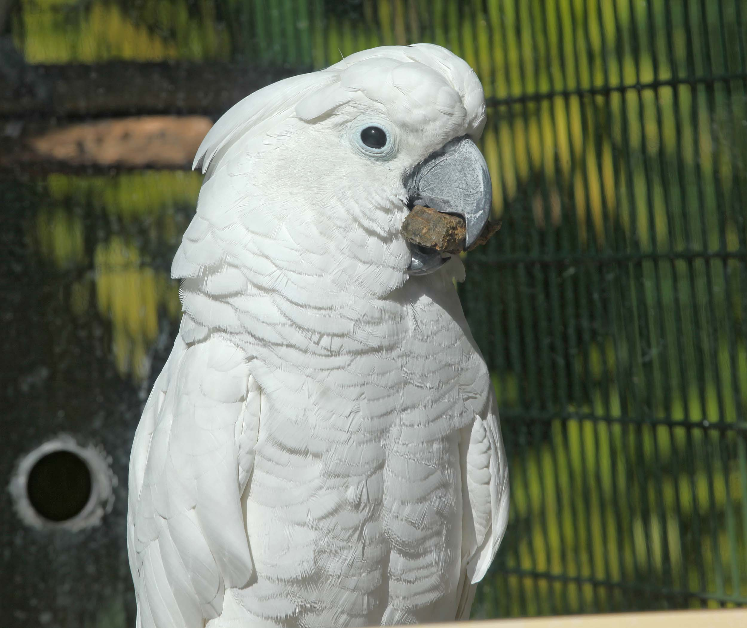 pictures and information on white cockatoo