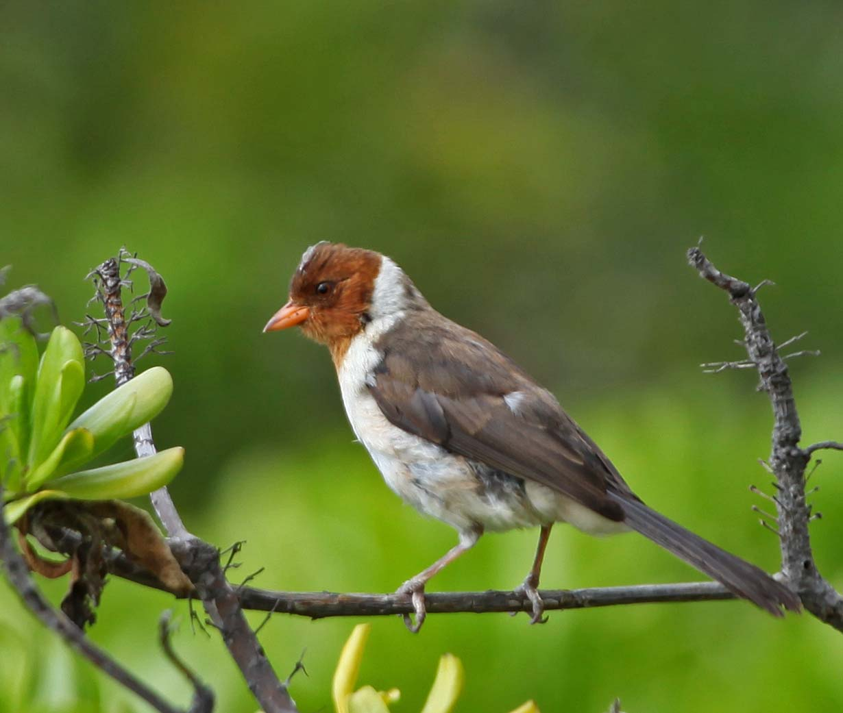 pictures and information on yellow billed cardinal