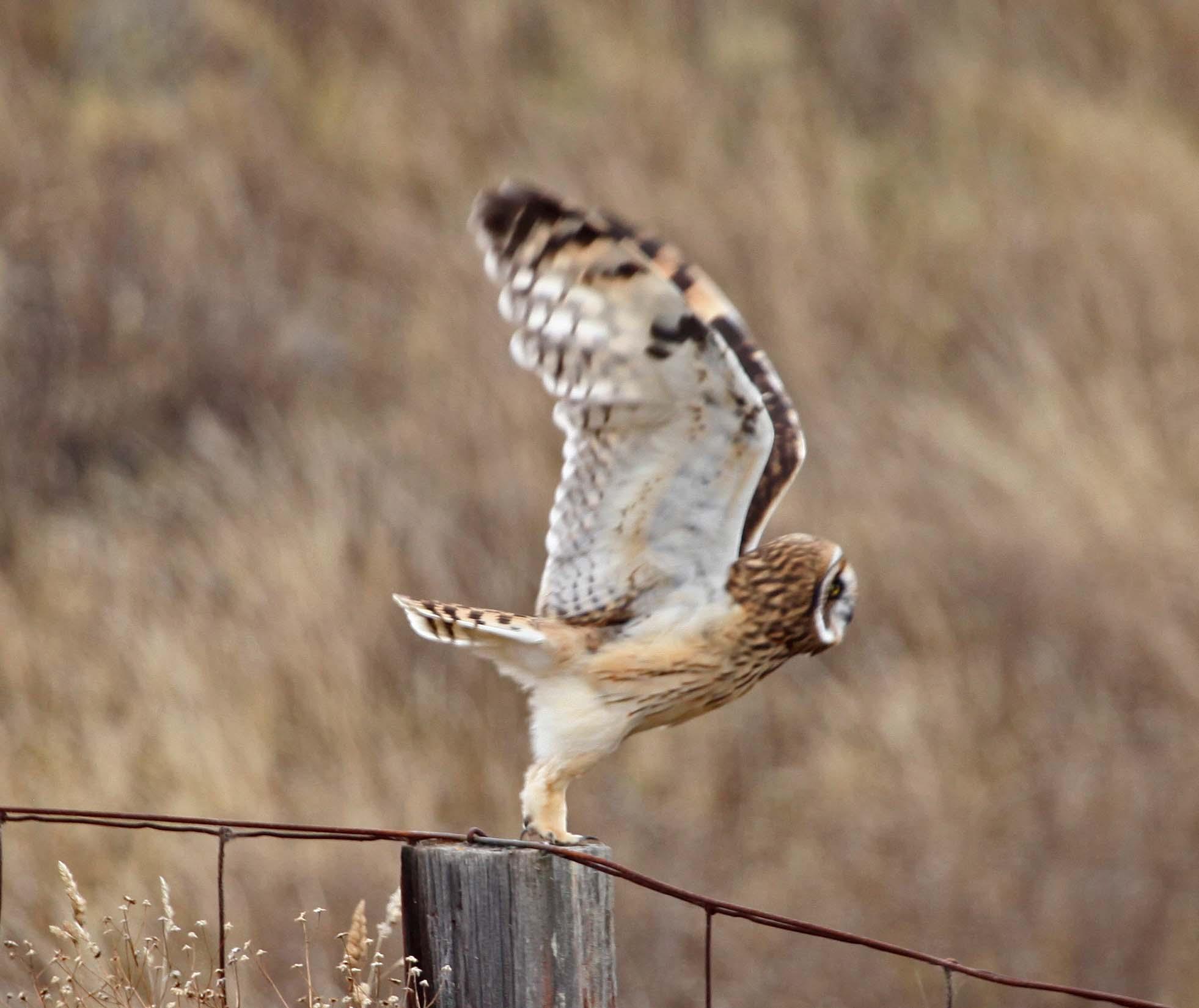 Hawaiian Stilt Owl