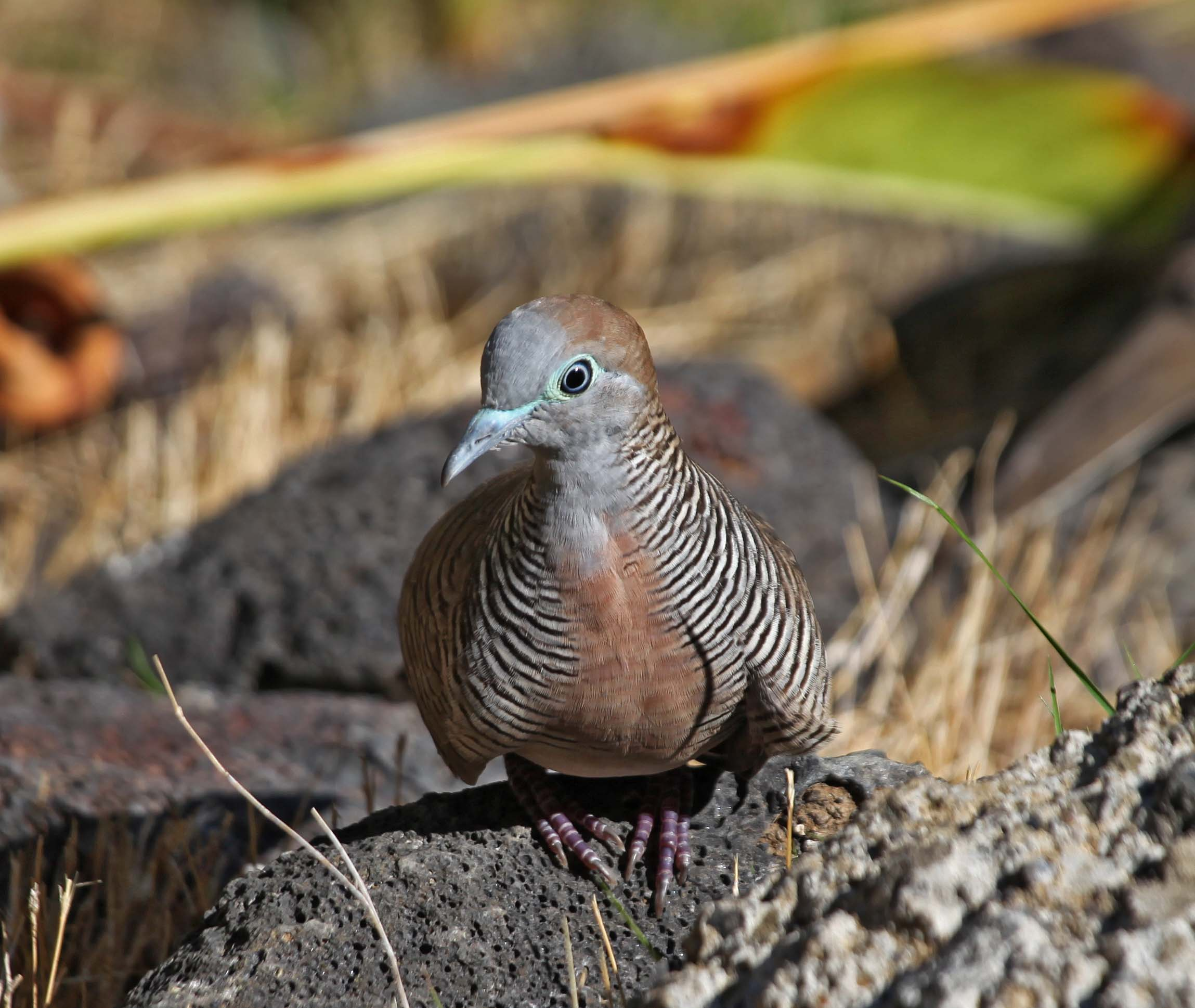 pictures and information on zebra dove