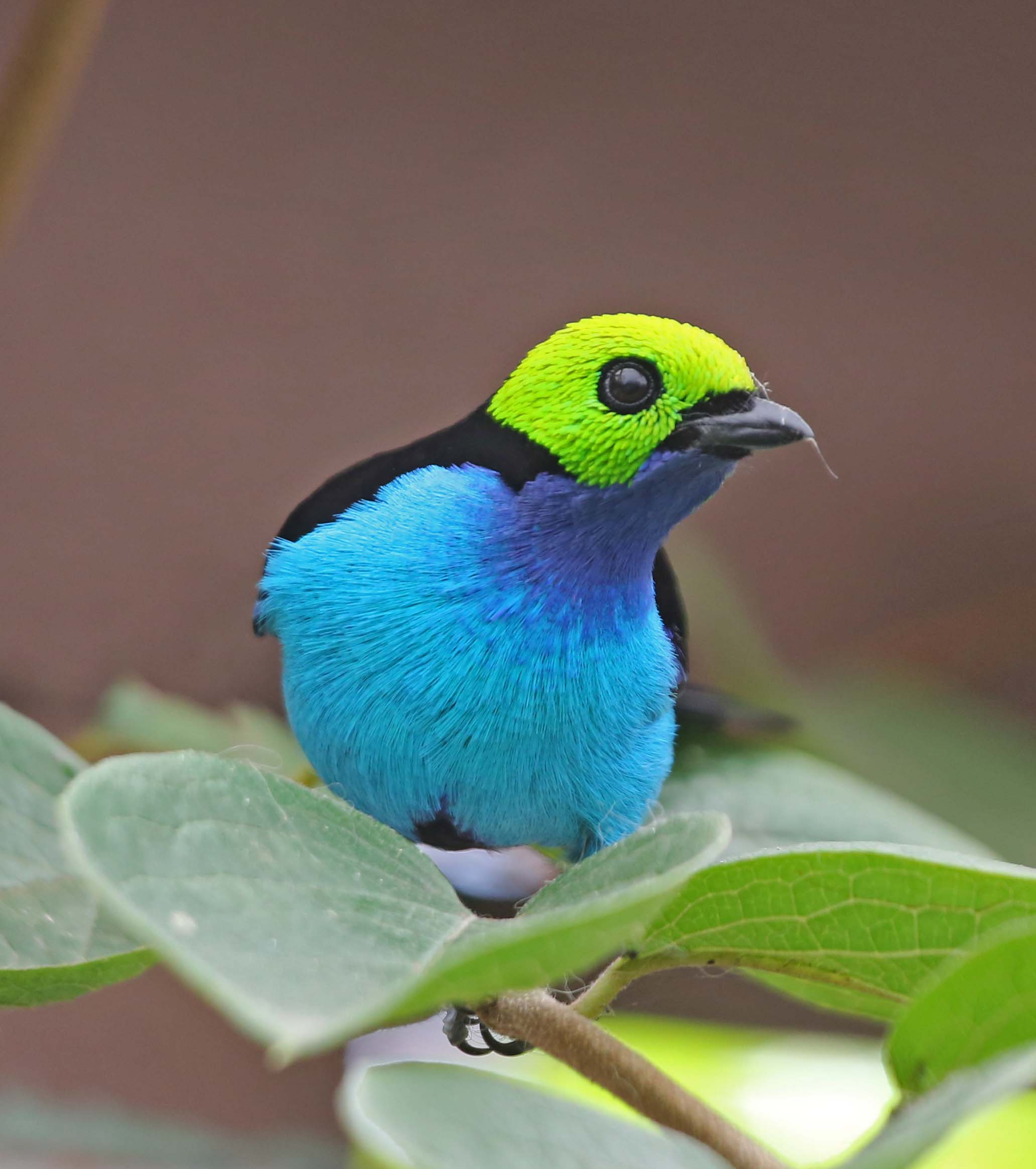 Birds: Pictures And Information On Paradise Tanager