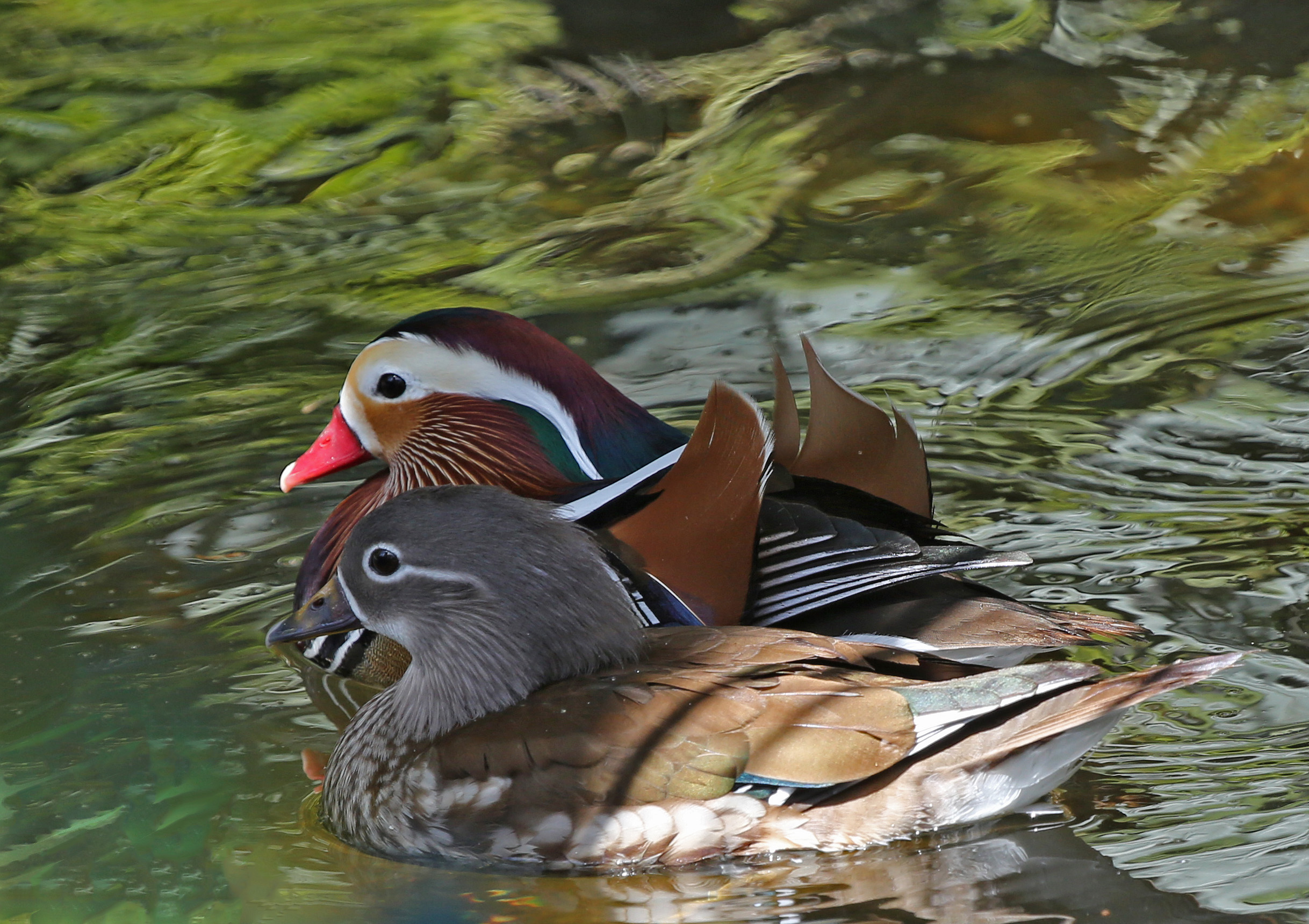 Picture Image Of Mandarin Duck Male And Female