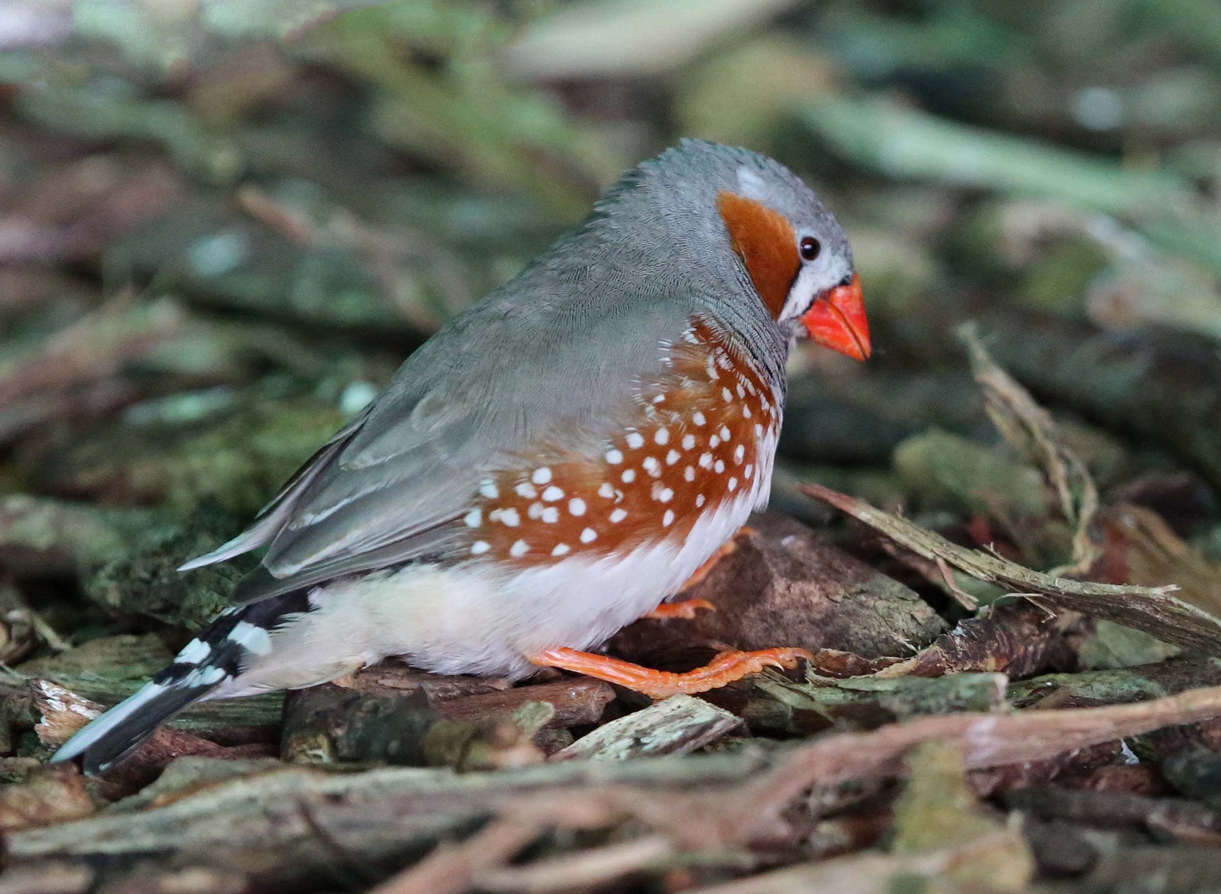 Pictures and information on Zebra Finch