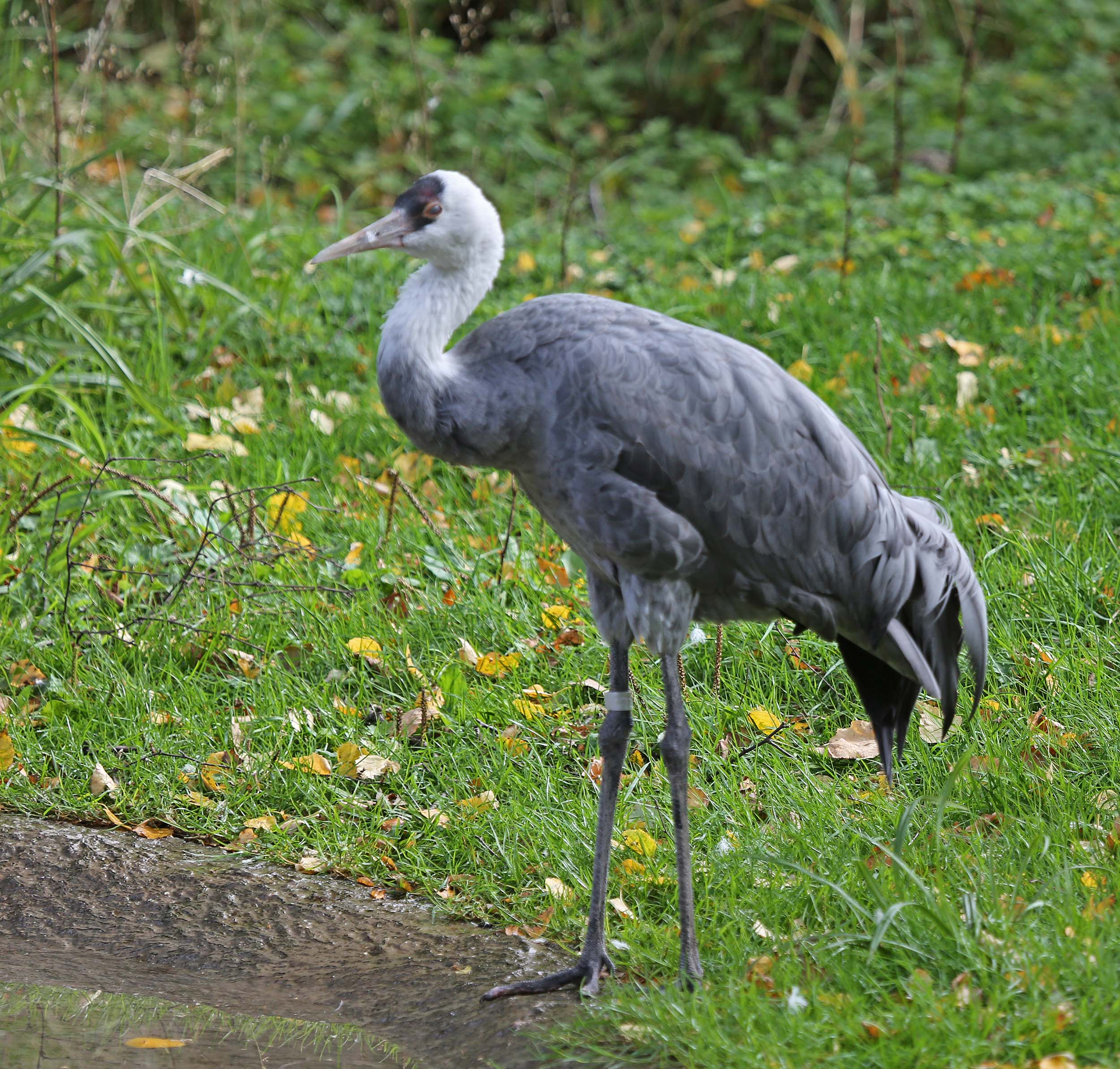 Pictures And Information On Hooded Crane