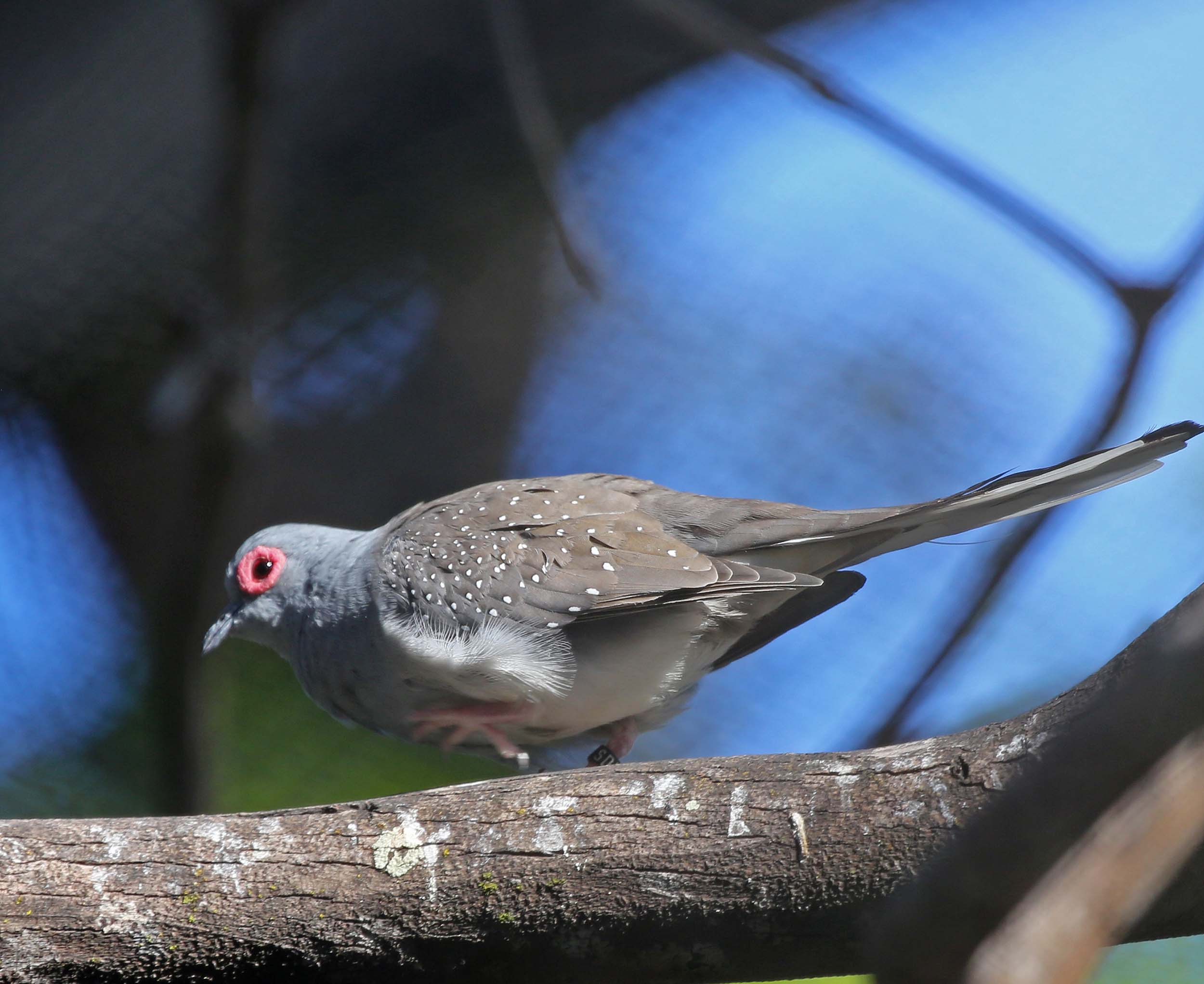 Pictures And Information On Diamond Dove