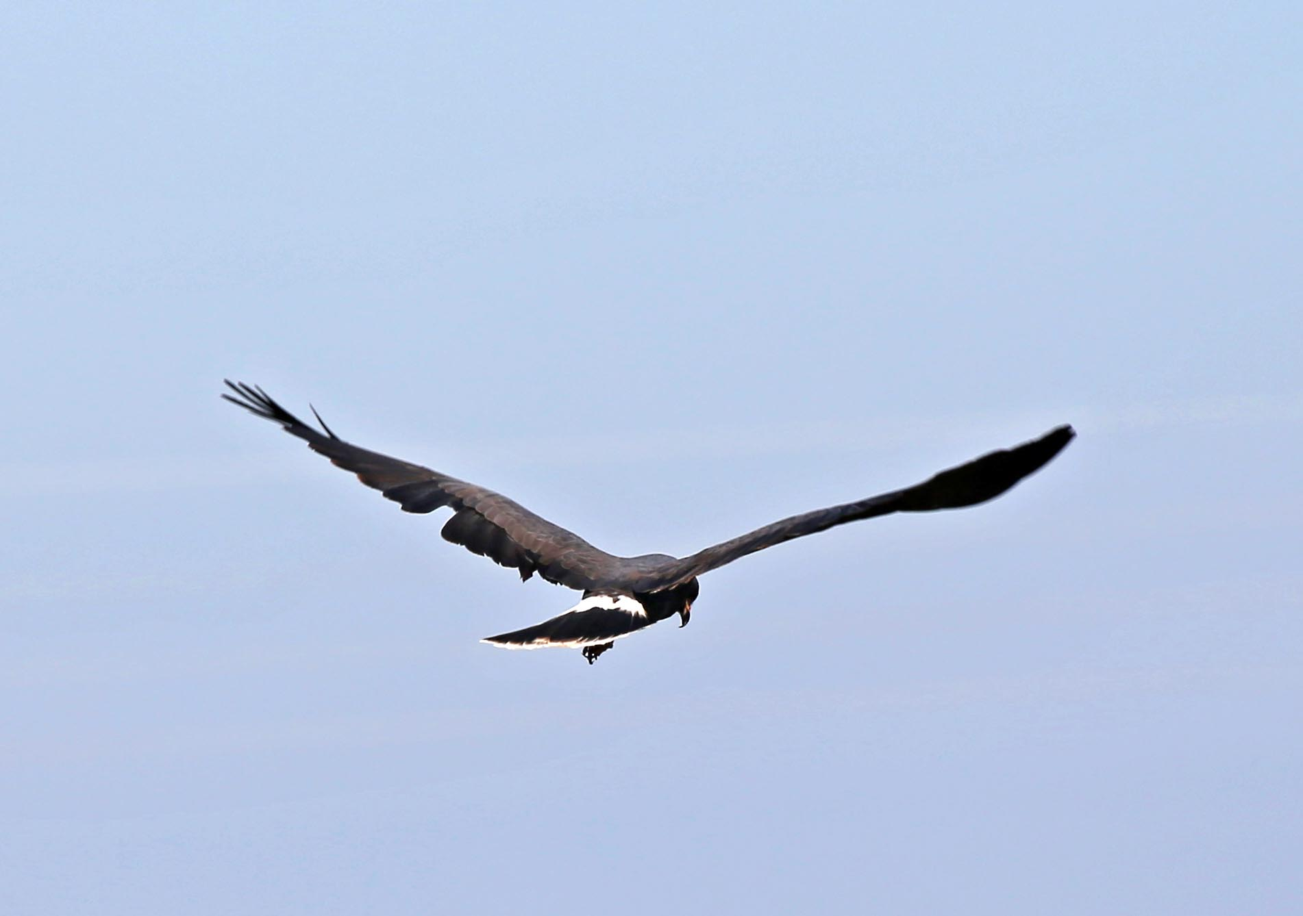 pictures and information on snail kite